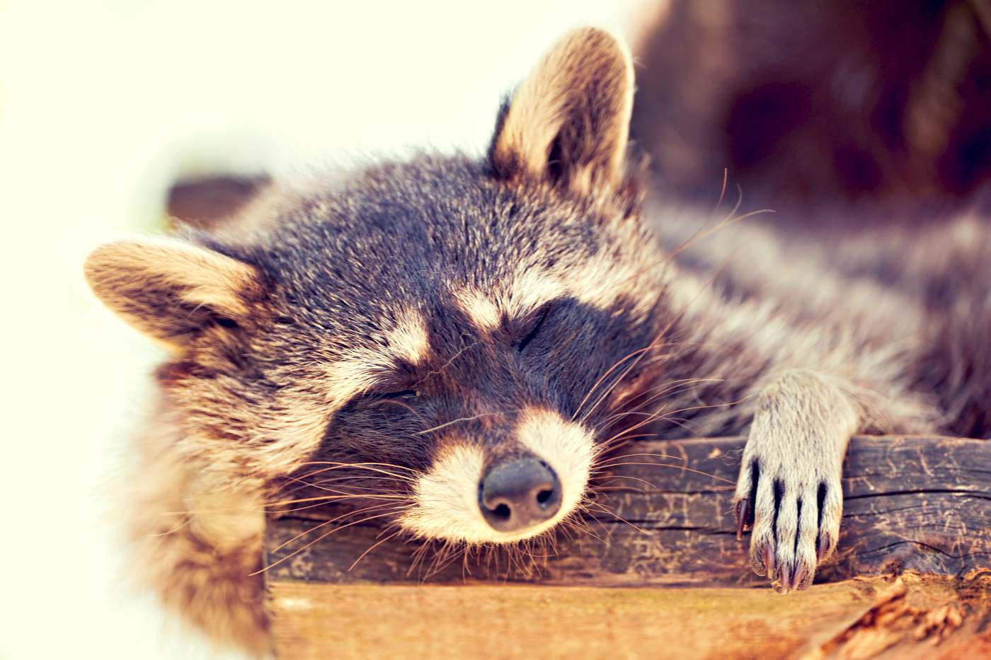 Sleeping racoon doesn't care